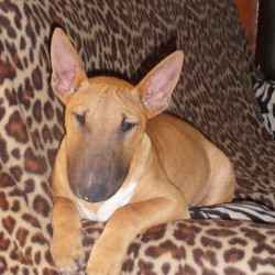 Bull Terrier Geronimo miniature1