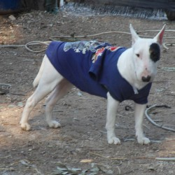 Naffa bull terrier miniature