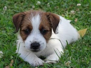 Jack russell terrier pelo broken allevamento amatoriale for Jack russel pelo lungo